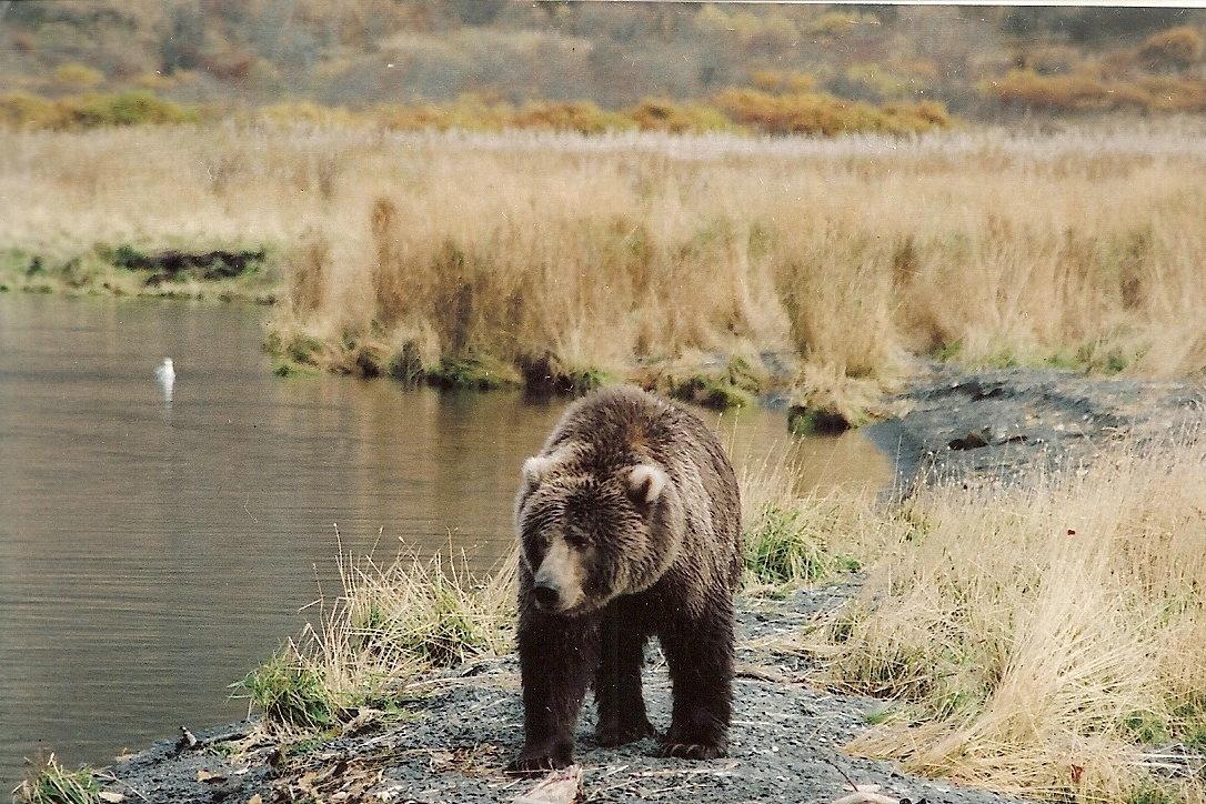 Wandering Brown Bear